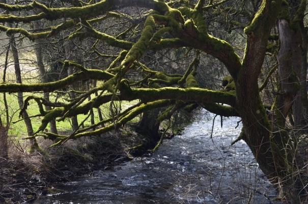Fast schon mystisch wirkt dieser moosbewachsene alte Baum ©entdecker-greise.de
