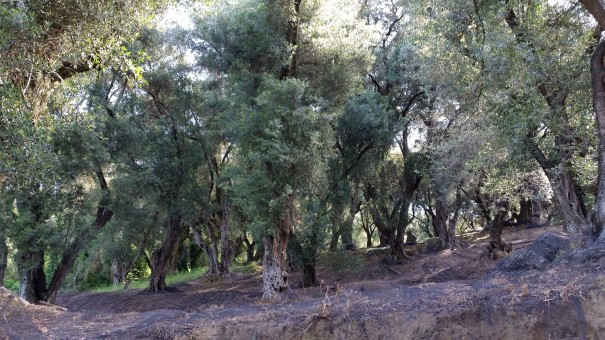 Die Olivenhaine haben es mir angetan ... #Corfelios ©entdecker-greise.de