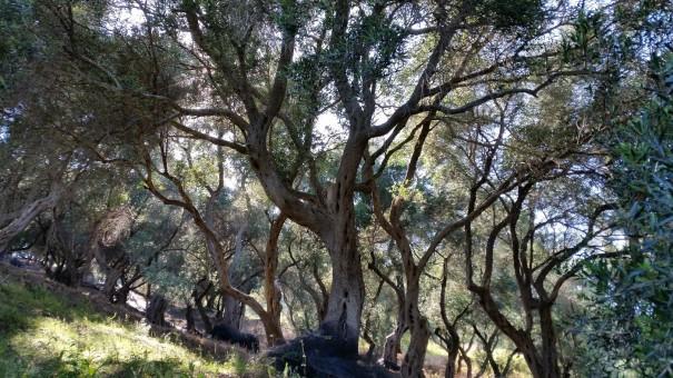 Die Wanderung mit Corfelios führt uns natürlich wieder durch herrliche Olivenhaine. ©entdecker-greise.de