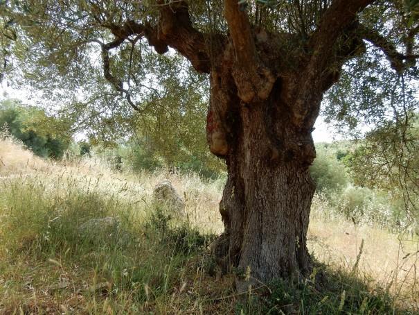 Ich finde die Formen und Auswüchse der Olivenbäume einfach nur wunderschön und zutiefst beeindruckend. ©www.entdecker-greise.de #corfelios