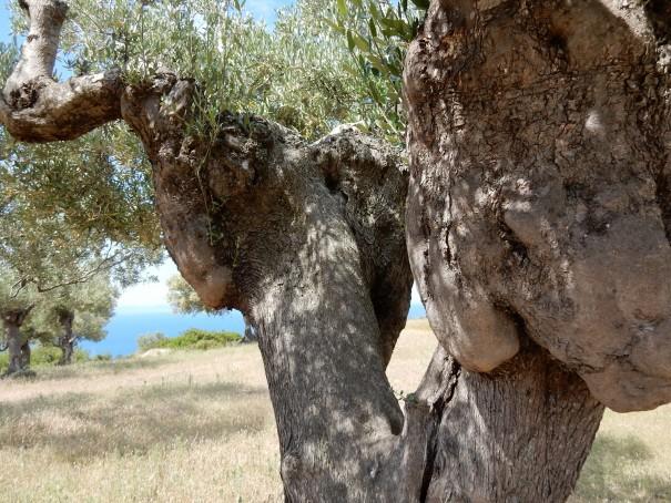 Wie alt ein solch gewaltiger Olivenbaum wohl sein mag ... ©www.entdecker-greise.de #corfelios