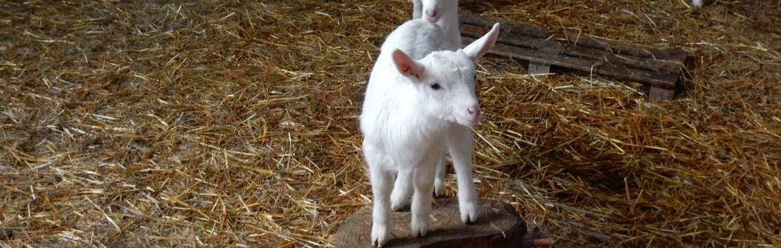 Ob das auch eine kleine Ziegenprinzessin ist - zu finden ist sie jedenfalls in der Kleinen Fromagerie ©www.entdecker-greise.de